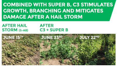 Comparison of crops after a hail storm with crops after Super B and C3 have been applied. Combined with Super B, C3 stimulates growth, branching and mitigates damage after a hail storm.