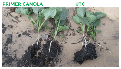 Comparison of Manyinga Project's Canola treated with Primer Canola and UTC