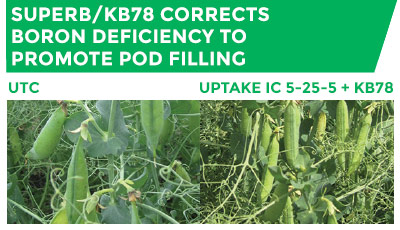 Comparison of UTC crop, and a crop treated with uPtaKe IC 5-25-5 + KB78. SuperB/KB78 corrects boron deficiency to promote pod filling
