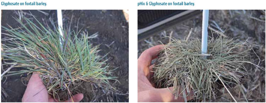 pHix and glyphosate on foxtail barley