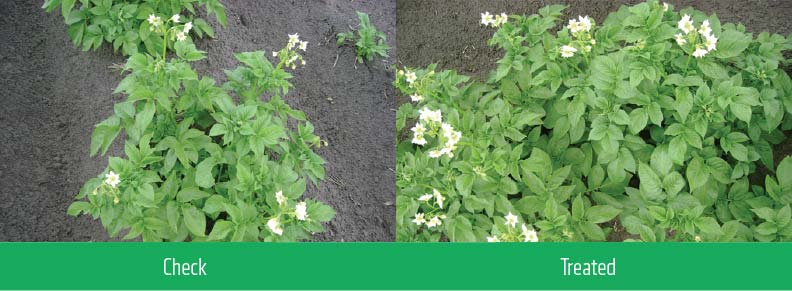 2 comparison images showing the differences of crops treated with CalMax Complete