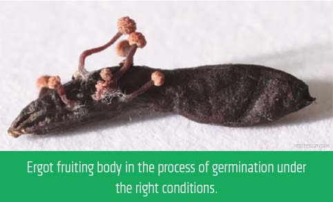 Ergot fruiting body in the process of germination under the right conditions