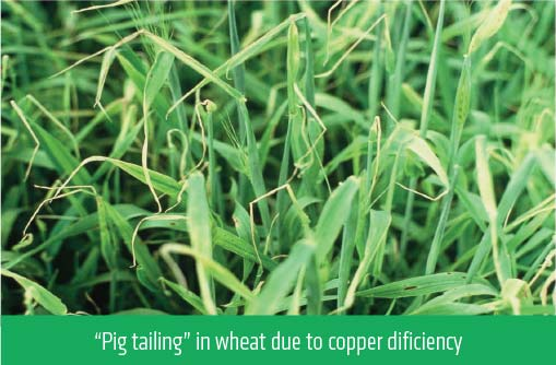 """Pig tailing"" in wheat due to copper dificiency"