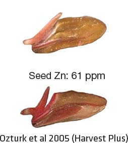Seeds with different levels of Zn
