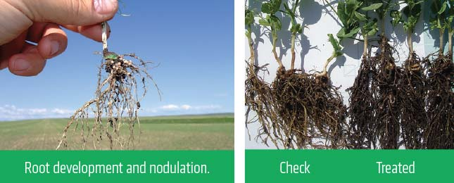 Root development and nodulation and a check/treated comparison.