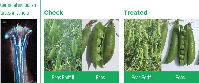 Comparison between check and treated peas.