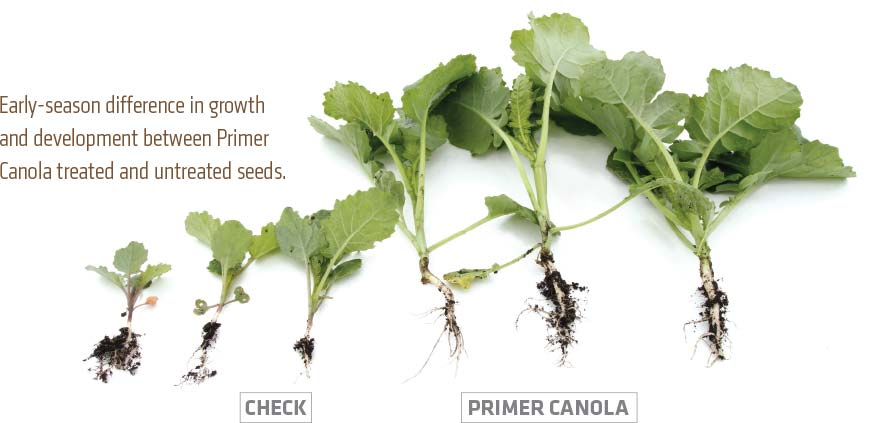Early-season difference in growth and development between Primer Canola treated and untreated seeds.