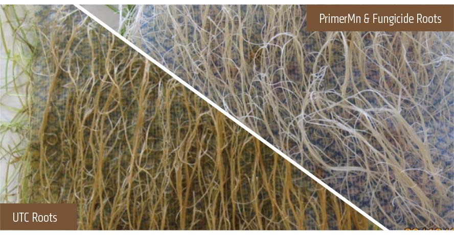 Comparison of UTC Roots, and Primer Mn and Fungicide Roots