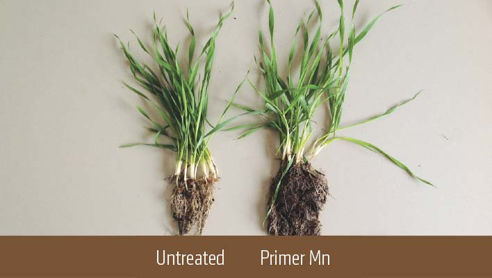 Comparison of untreated and Primer Mn roots