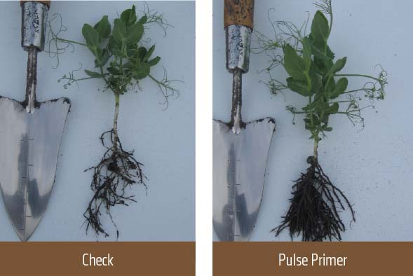 Two images of roots; one check, one with Pulse Primer
