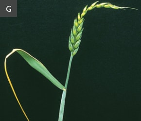 Copper deficiency in wheat