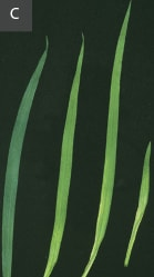 Manganese deficiency in wheat